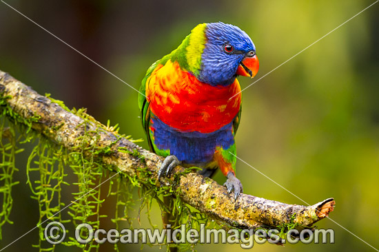 Rainbow Lorikeet (Trichoglossus haematodus). Found in all forests, woodlands and gardens throughout Australia. Photo taken at Coffs Harbour, New South Wales, Australia. Photo - Gary Bell