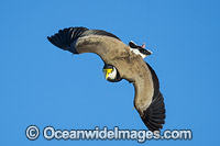 Masked Lapwing Vanellus miles Photo - Gary Bell