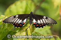 Orchard Swallowtail Butterfly Photo - Gary Bell