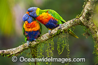 Rainbow Lorikeet pair grooming Photo - Gary Bell