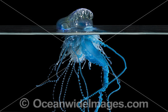 Portuguese man o' war (Physalia physalis). Also known as the Blue Bottle, Blue Bubble and Portuguese Man-of-War. Venomous, capable of producing a very painful and powerful sting. Found throughout the world. Photo taken off Coffs Harbour, NSW, Australia. Photo - Gary Bell