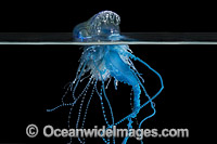 Portuguese Man-of-War Photo - Gary Bell