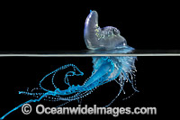 Portuguese Man o War Photo - Gary Bell