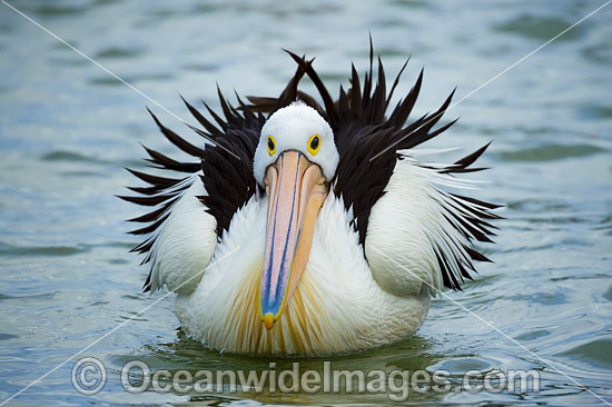 Australian Pelican (Pelecanus conspicillatus), resting on the surface of the ocean. This large water bird is found throughout Australia and New Guinea. Also in Fiji and parts of Indonesia and New Zealand. Central New South Wales coast, Australia. Photo - Gary Bell