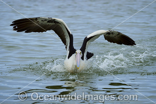 Australian Pelican (Pelecanus conspicillatus), taking flight. This large water bird is found throughout Australia and New Guinea. Also in Fiji and parts of Indonesia and New Zealand. Central New South Wales coast, Australia. Photo - Gary Bell