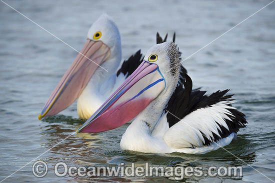 Australian Pelicans (Pelecanus conspicillatus), during breading season showing the color change of the bill and pouch. Found throughout Australia and New Guinea. Also in Fiji and parts of Indonesia and New Zealand. Central New South Wales coast, Australia Photo - Gary Bell