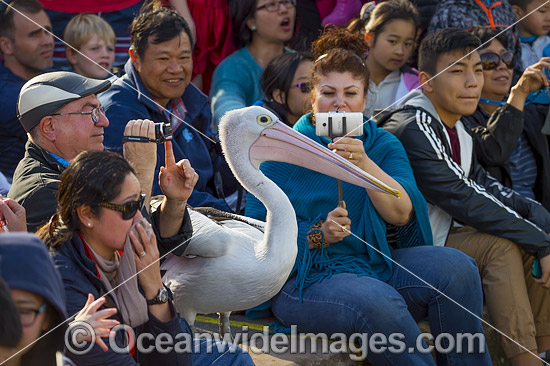 Spectators observing Australian Pelicans (Pelecanus conspicillatus) at a daily feeding show. The Entrance, New South Wales, Australia. Photo - Gary Bell
