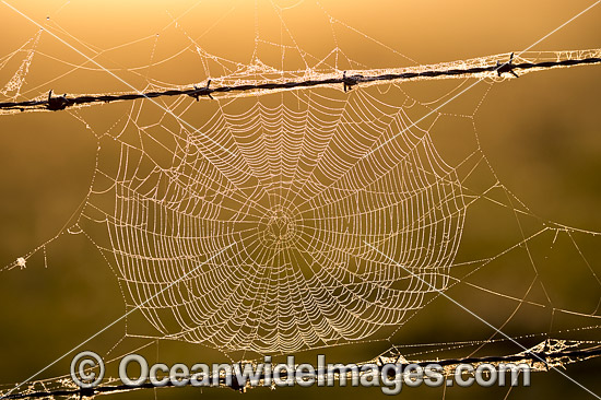 Spiders Web on a country farm property barbed-wire fence. Photo taken near Grafton, New South Wales, Australia. Photo - Gary Bell