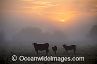 Cattle in morning mist Photo - Gary Bell