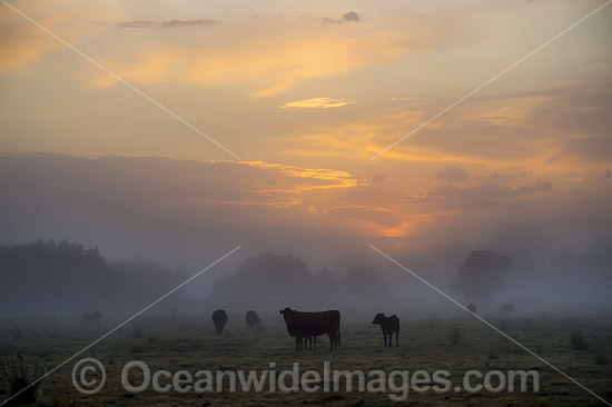 Cattle on a farm property cloaked in mist, during morning sunrise. Photo taken near Grafton, New South Wales, Australia. Photo - Gary Bell