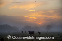 Cattle in morning mist Grafton Photo - Gary Bell