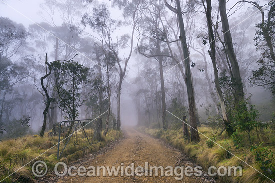 Track leeding through open woodland of snow gum, shining gum and tussocky snow grass in mist. New England National Park, New South Wales, Australia. This subtropical rainforest is inscribed on the World Heritage List. Photo - Gary Bell