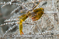 Black Coral Crab photo