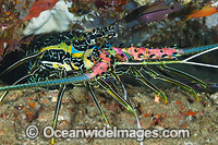 Painted Rock Lobster Panulirus versicolor Photo - Gary Bell