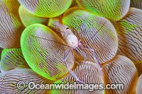 Commensal Shrimp Vir philippinensis photo