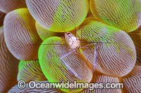 Commensal Shrimp on Bubble Coral Photo - Gary Bell