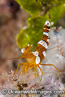 Shrimp Thor amboinensis photo