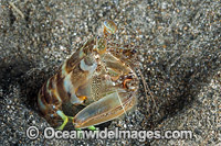 Mantis Shrimp photo