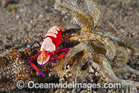 Emperor Shrimp on Sea Cucumber photo