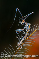 Skeleton Shrimp Caprella sp. Photo - Gary Bell