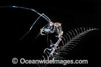 Ghost Shrimp on Hydroid photo