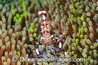 Commensal Shrimp on a Sea Anemone photo