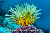 Crinoid Feather Star on Barrel sponge photo