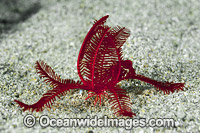 Crinoid Feather Star Photo - Gary Bell