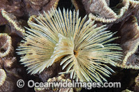 Feather Duster Worm Photo - Gary Bell