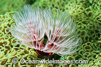Feather Duster Worm in coral photo