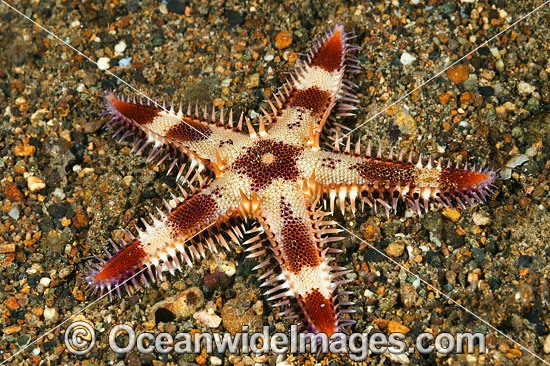 Sea Star (Astropecten sp.). Found throughout the Indo Pacific. Photo taken off Anilao, Philippines. Within the Coral Triangle. Photo - Gary Bell