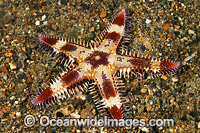Sea Star Astropecten sp. Photo - Gary Bell