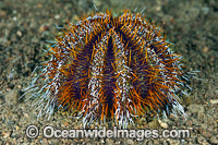 Sea Urchin Tripneustes gratilla Photo - Gary Bell