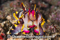 Flamboyant Cuttlefish Coral Triangle photo