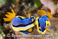 Nudibranch Coral Triangle Photo - Gary Bell