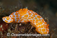 Nudibranch Gymnodoris rubropapulosa photo