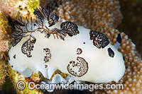 Nudibranch with eggs Photo - Gary Bell