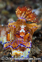 Nudibranch with commensal Shrimp Photo - Gary Bell