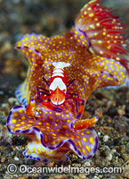 Nudibranch with Shrimp Photo - Gary Bell