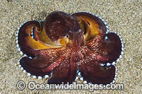 Veined Octopus photo
