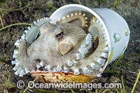 Veined Octopus hiding in tea cup image
