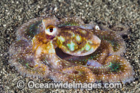 Veined Octopus Photo - Gary Bell