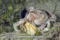Veined Octopus hiding in shell image