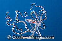 Mimic Octopus swimming photo