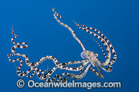 Mimic Octopus swimming Photo - Gary Bell
