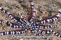 Mimic Octopus photo