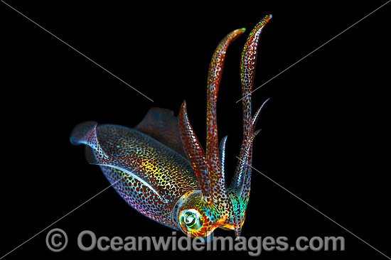 Bigfin Reef Squid (Sepioteuthis lessoniana), juvenile swimming in mid water at night. Found throughout the Indo-Pacific. Photo was taken off Anilao, Philippines. Within the Coral Triangle.