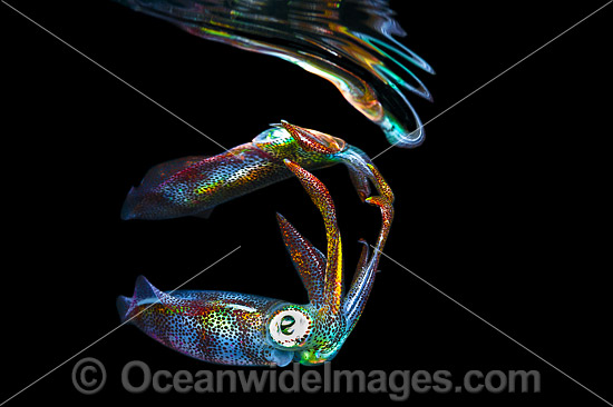 Bigfin Reef Squid (Sepioteuthis lessoniana), juvenile swimming in mid water at night. Found throughout the Indo-Pacific. Photo was taken off Anilao, Philippines. Within the Coral Triangle. Photo - Gary Bell