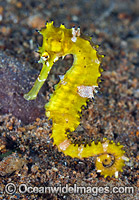 Thorny Seahorse (Hippocampus histrix). Found throughout tropical West Pacific, southern Japan to the Coral Sea, including Great Barrier Reef, Australia. Photo: Gary Bell