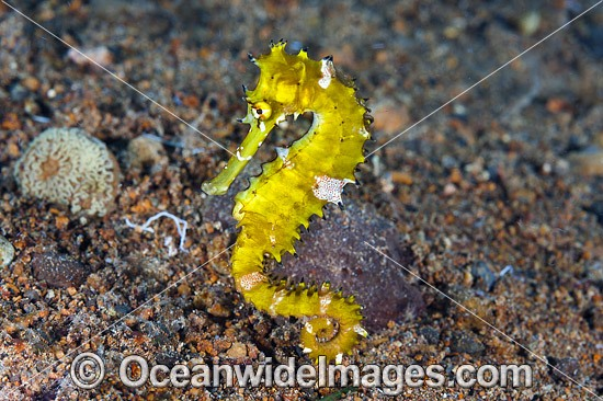Thorny Seahorse (Hippocampus histrix). Found throughout tropical West Pacific, southern Japan to the Coral Sea, including Great Barrier Reef, Australia.